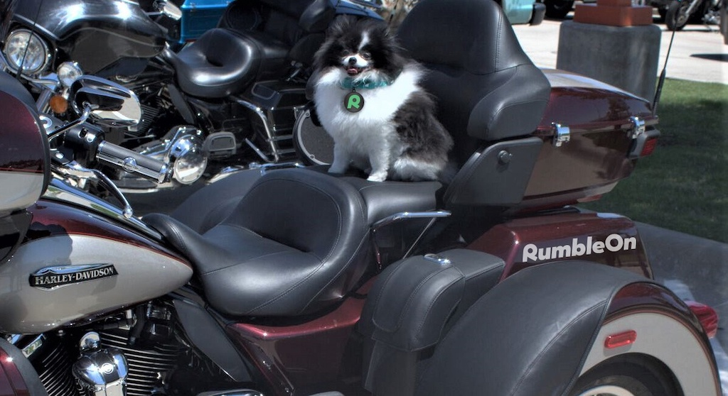 Pixel the pomeranian ready to ride at Hogs 4 Paws 2018